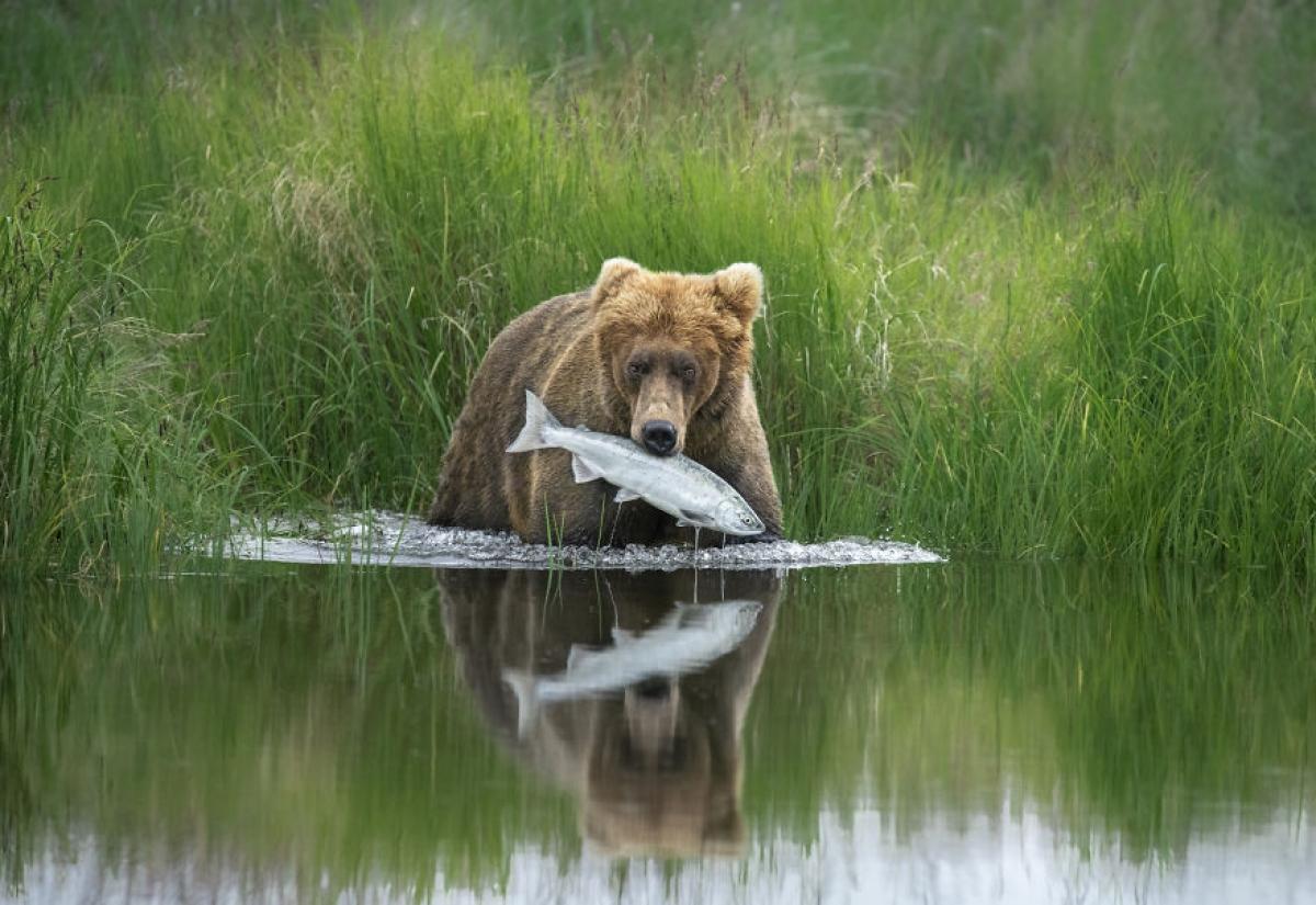 Một chú gấu nâu bắt được một con cá hồi được nhiếp ảnh gia ghi lại ở Công viên quốc gia Alaska's Katmai.