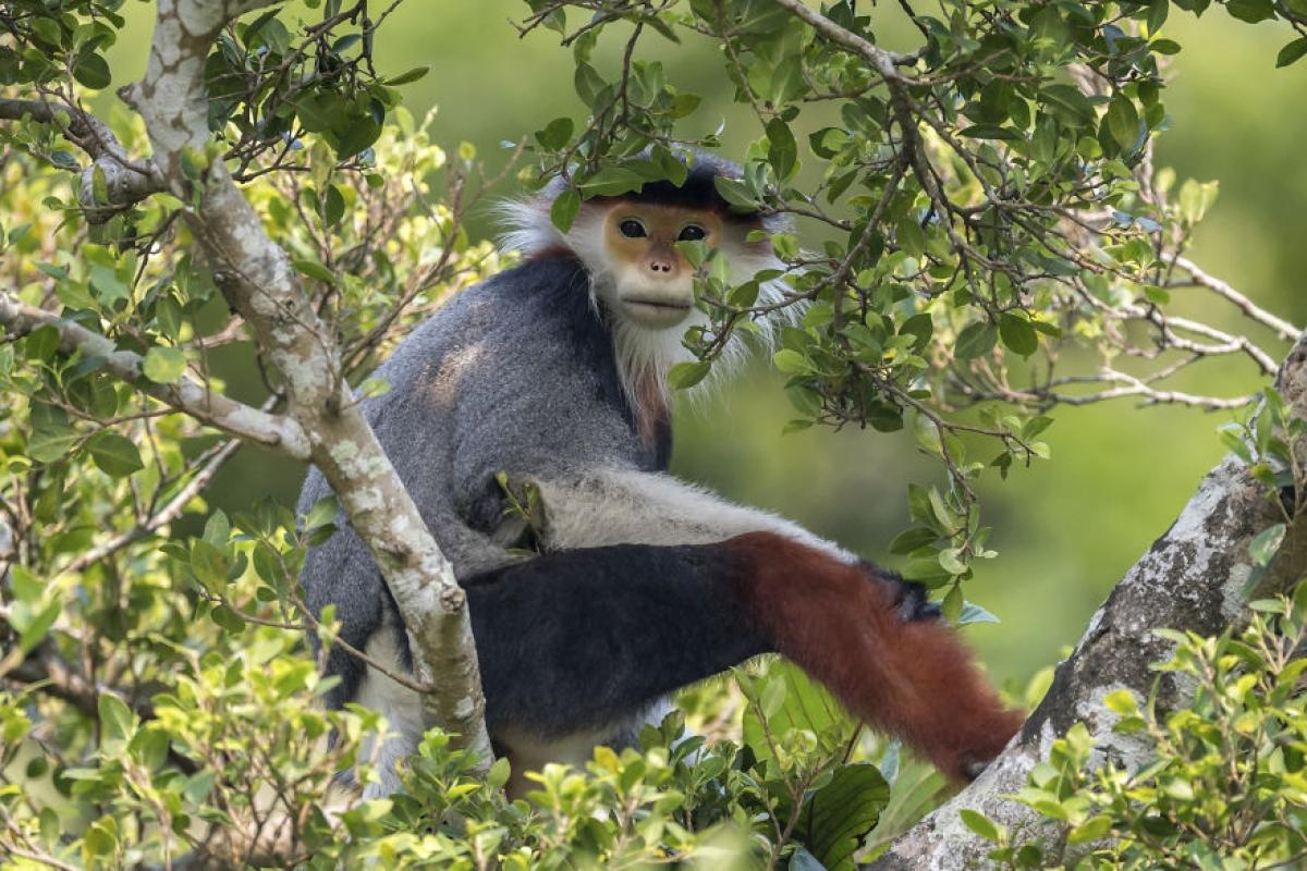 Chú khỉ có màu lông giống hệt một chú hề.