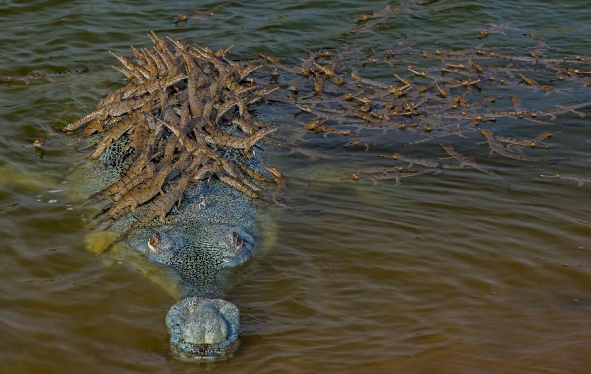 Cá sấu và đàn con.