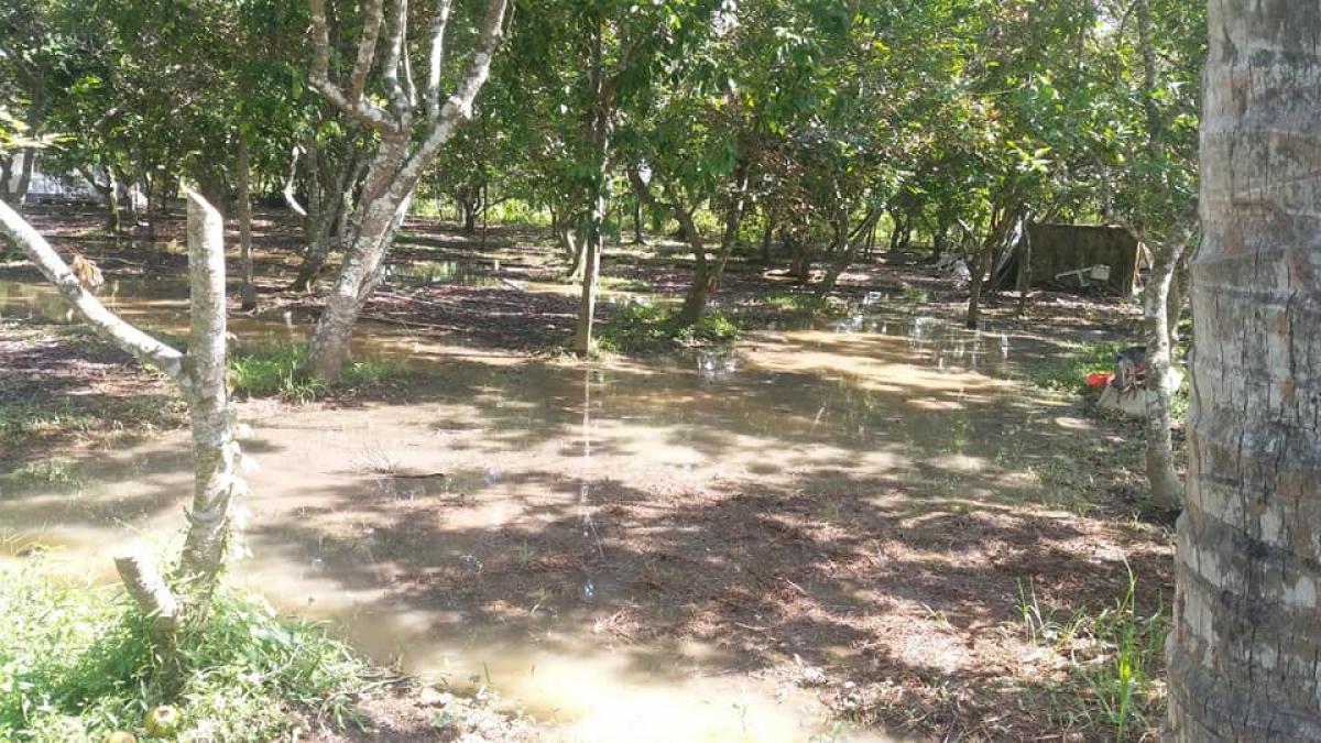 Triều cường làm ngập vườn cây tại huyện Châu Thành, tỉnh Bến Tre
