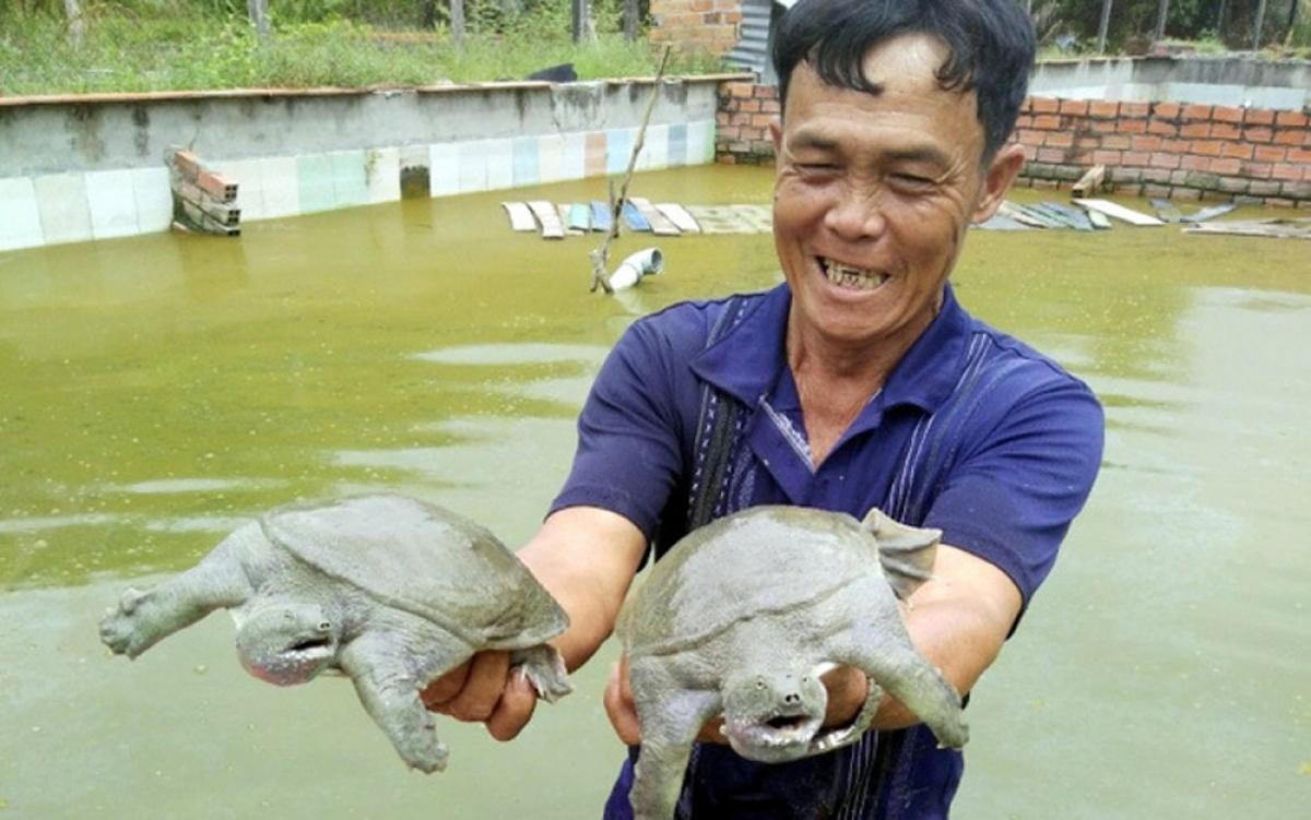 Gia đình nông dân tại huyện Dương Minh Châu, tỉnh Tây Ninh đã mạnh dạn đầu tư nuôi ba ba. Đến nay, gia đình đã sở hữu 10 ao nuôi ba ba với quy mô 10.000 nghìn con, mỗi đợt thu hoạch cho thu nhập không dưới 1 tỷ đồng. (Ảnh: Dân Việt)