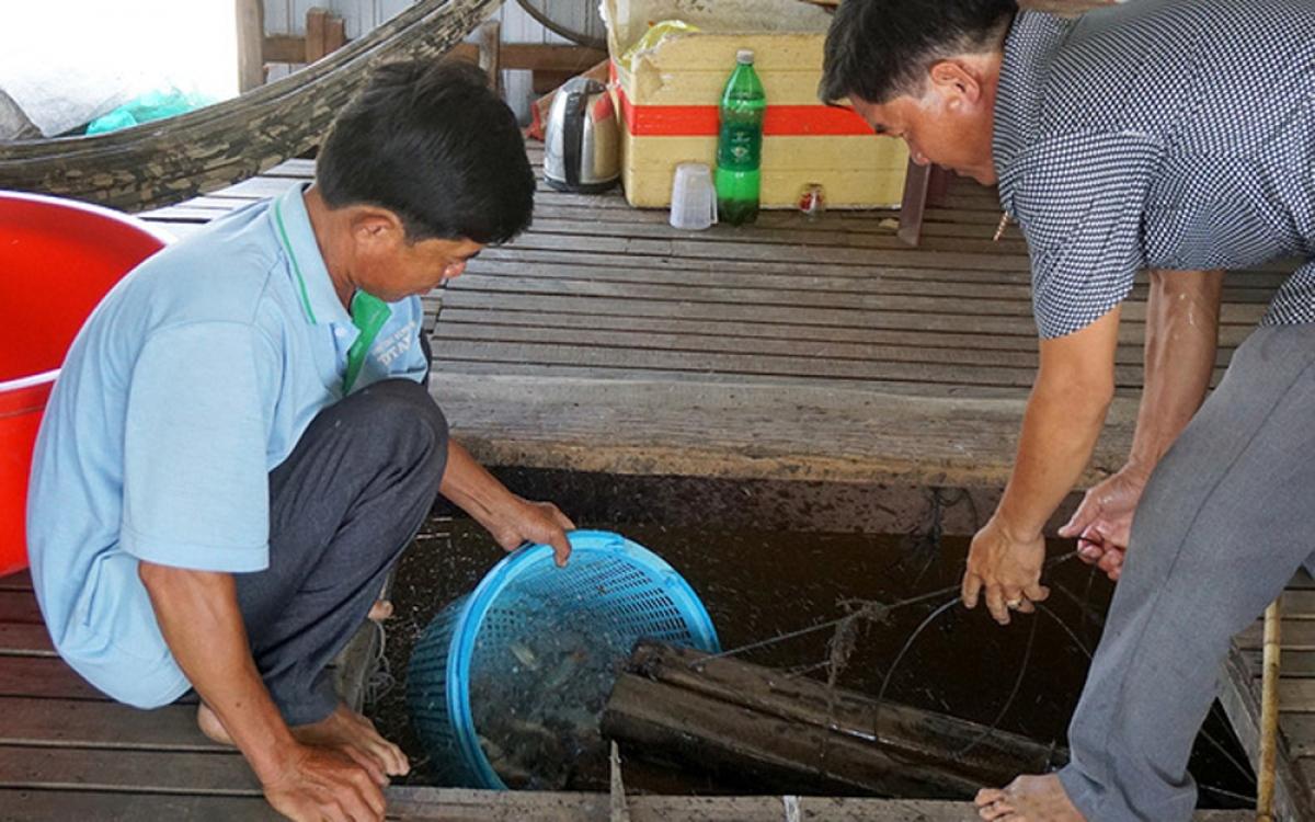 Việc phát triển mô hình nuôi cá heo đuôi đỏ bước đầu mang lại hiệu quả kinh tế cao cho gia đình ông Hồ Văn Nhiều ở huyện Phú Tân, tỉnh An Giang. Giá bán của loại cá này khá cao, từ 290.000 - 360.000 đồng/kg, mang lại nguồn thu nhập cao cho gia đình. (Ảnh: Dân Việt)