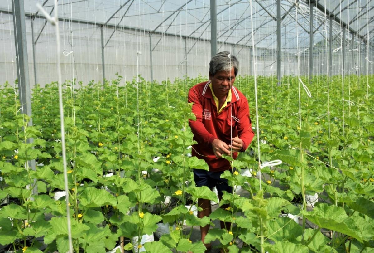 Mô hình trồng dưa lưới công nghệ cao tại An Giang.