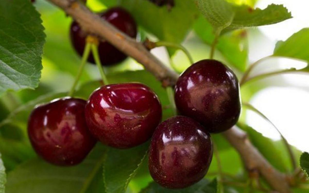 Chủ một cửa hàng bán trái cây nhập khẩu tại phố Bà Triệu (Hà Nội) cho biết, giá cherry cao là do hiện nay đã vào cuối vụ, khan hàng. (Ảnh: Dân Việt)