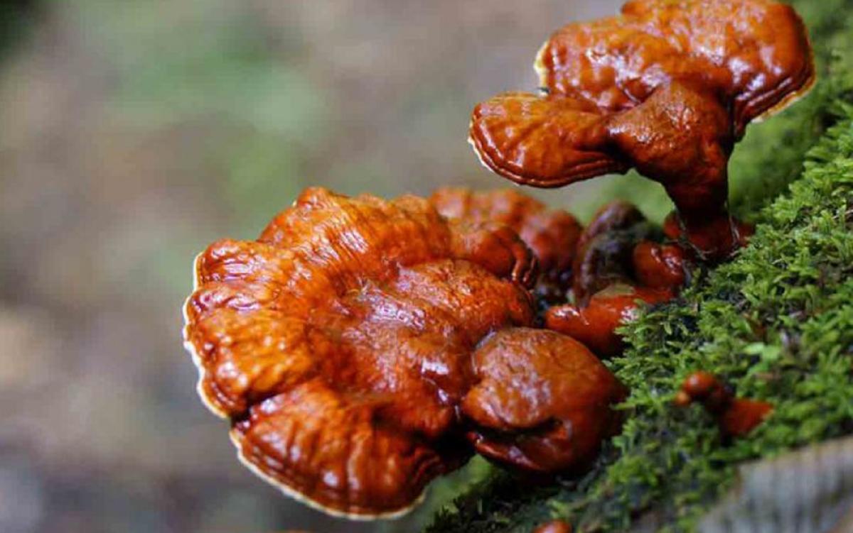 Nấm lim xanh chỉ mọc đặc hữu trên cây gỗ lim xanh đã chết mục. Người ta không thể tìm thấy bất kì cây nấm lim xanh chính danh nào mọc trên những cây gỗ lim còn sống. Để tìm được nấm lim xanh, người thợ phải vào tận rừng sâu. Do số lượng hạn chế nên giá nấm lim xanh tươi dao động từ 1-2 triệu đồng/kg, tùy loại. Nấm khô giá có thể lên tới 3,5 triệu đồng/kg. (Ảnh: KT)