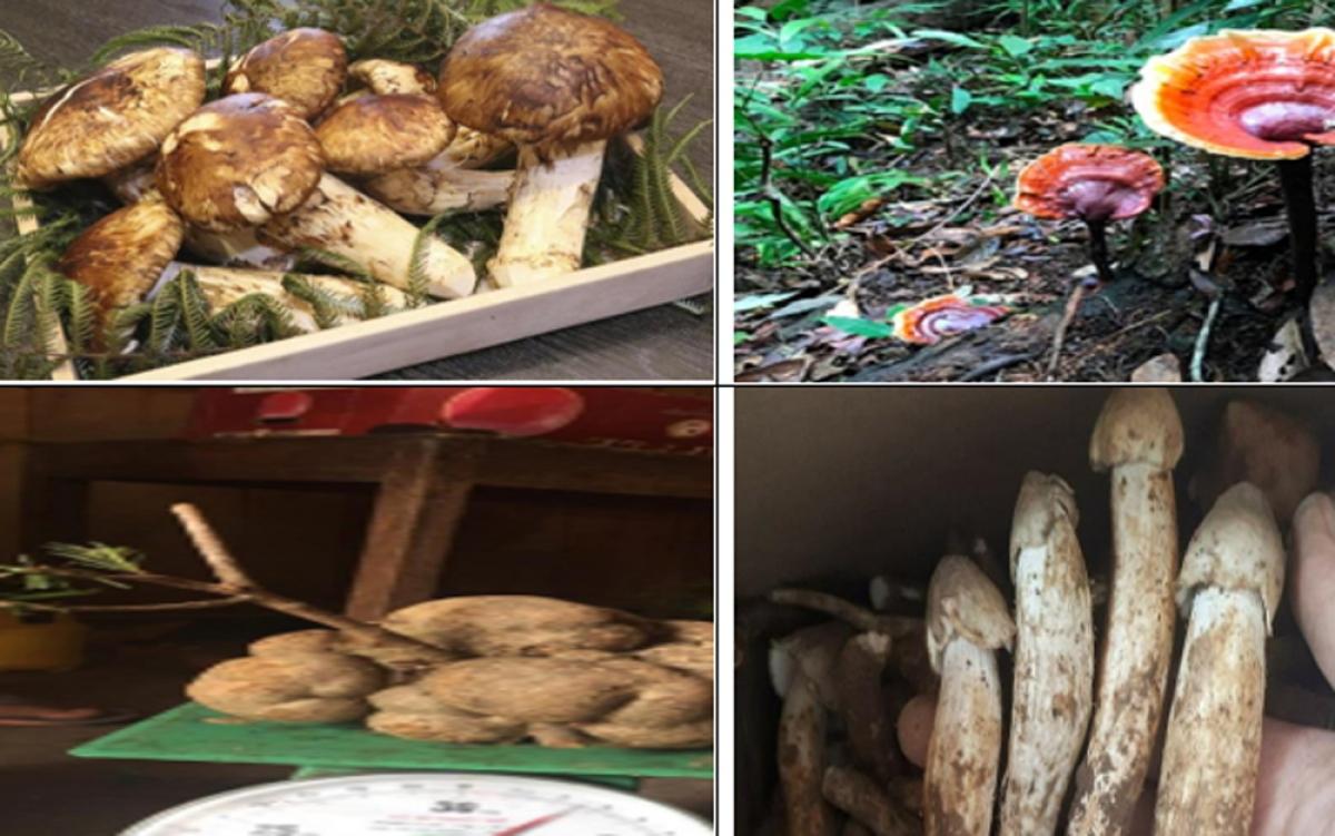Dù có giá lên tới cả triệu đồng, thậm chí vài chục triệu đồng mỗi kg, những loại nấm này vẫn được giới nhà giàu Việt tìm mua.