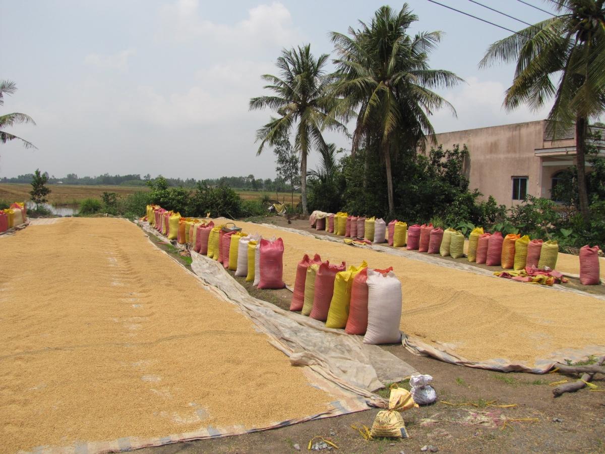 ĐBSCL ngày nay đã trở thành khu vực xuất khẩu lúa gạo hàng đầu thế giới.