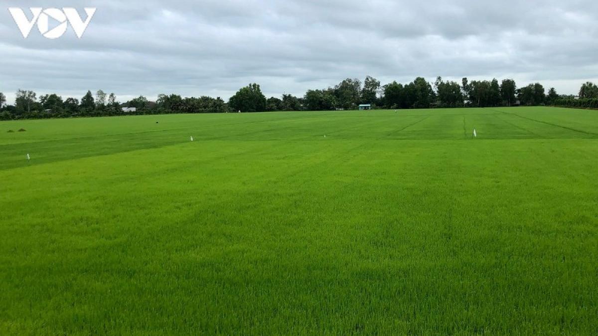 Vụ lúa Thu đông này, tỉnh Hậu Giang có kế hoạch gieo sạ 38.500 ha, với tổng sản lượng thu hoạch dự kiến đạt khoảng 213.000 tấn.