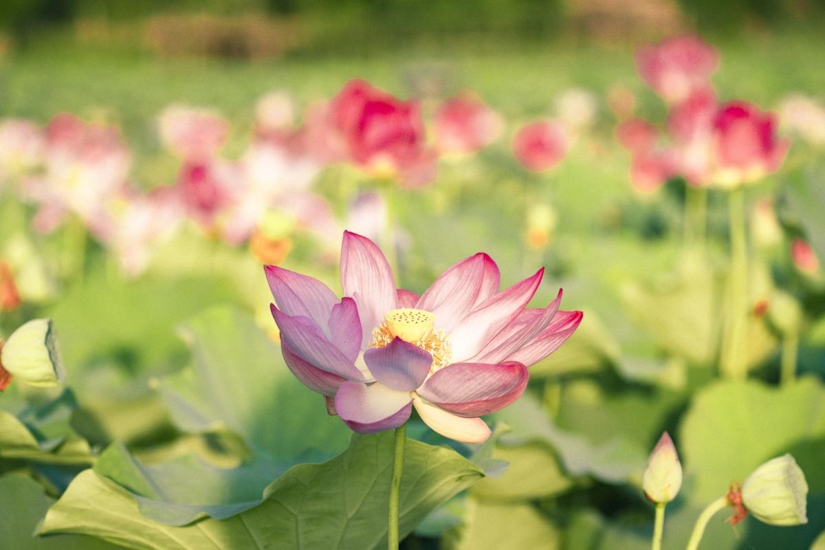Nhiều người vốn ngại mùa hè nắng nóng hay nhỡ mất mùa sen vào giữa hè cũng tìm tới nơi đây như một cách để thỏa mãn tình yêu với loài hoa được mệnh danh là quốc hoa của người Việt này.