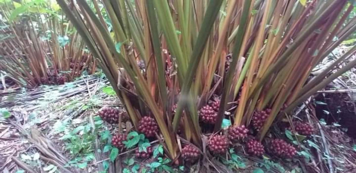 Nằm mơ thấy cây thảo quả đánh con gì có số độc đắc? 1294706039
