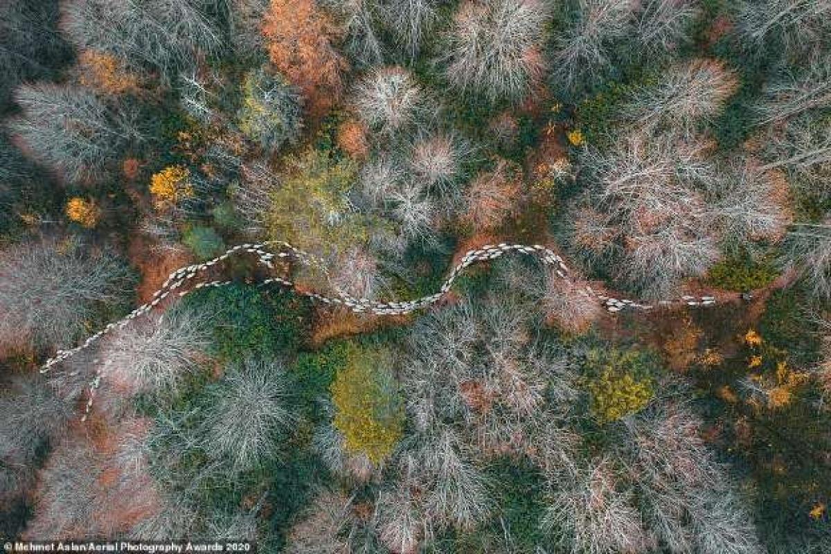 Bức ảnh từ trên cao của nhiếp ảnh gia Thổ Nhĩ Kỳ Mehmet Aslan cho thấy đàn cừu đang đi qua một khu rừng đang thay lá khi vào thu trông như một bức tranh trừu tượng độc đáo.