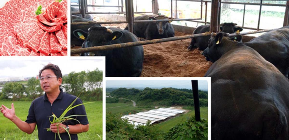 Sự khác biệt tới từ cách mà những người nông dân Nhật Bản chăm sóc bò. Bò được ăn một chế độ ăn hoàn toàn tự nhiên, với thức ăn được pha trộn từ 13 loại ngũ cốc (trong đó có lúa mạch, đậu nành, lúa mì…).