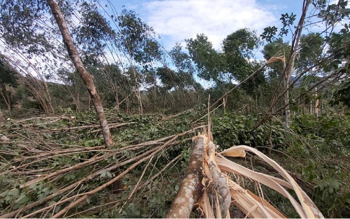 Cây cao su ở huyện Nam Đông,Thừa Thiên Huế bị gãy do bão số 9