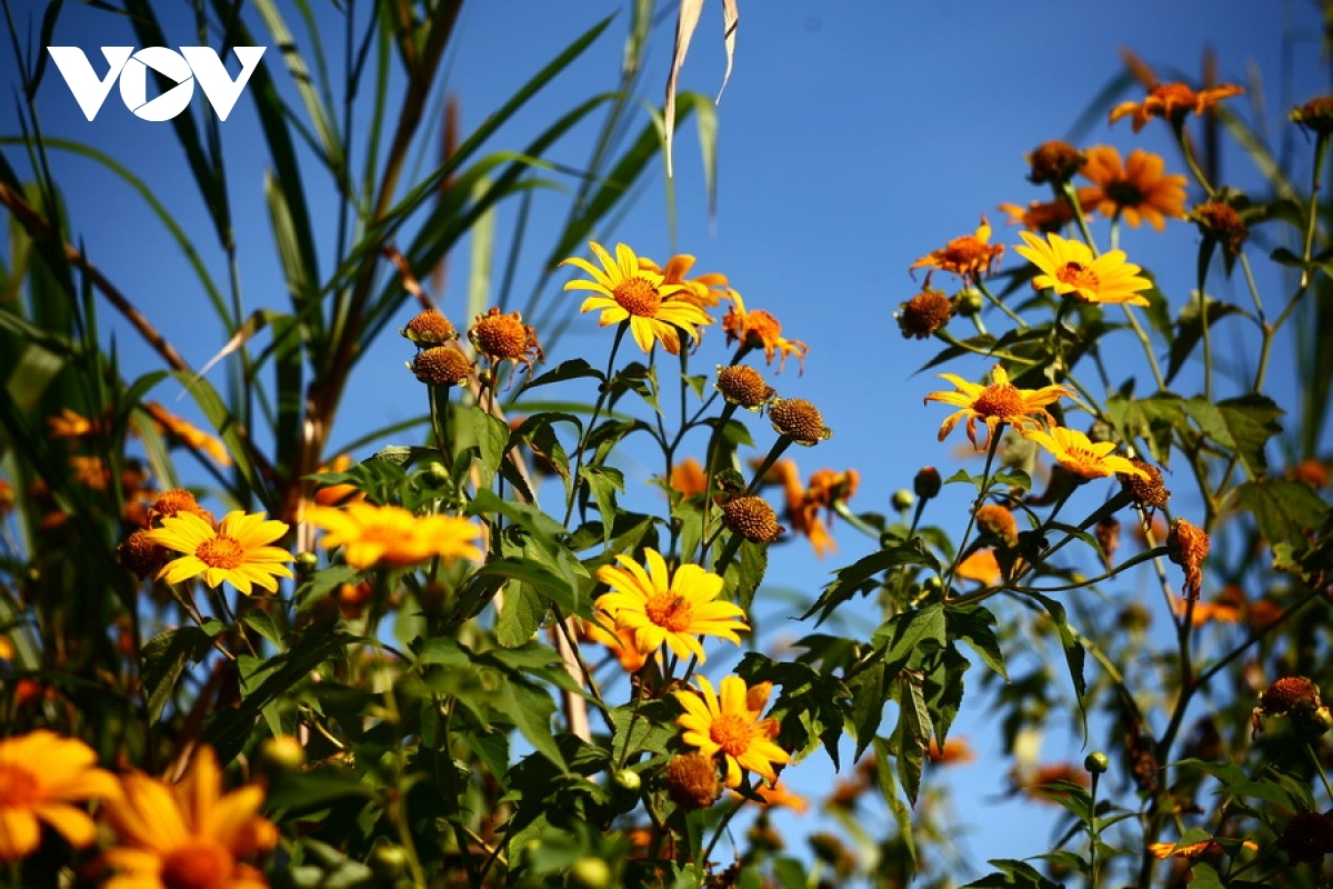 Hoa da quy, Tithonia diversifolia, also known as the wild sunflower, can be seen in full bloom during the spring.