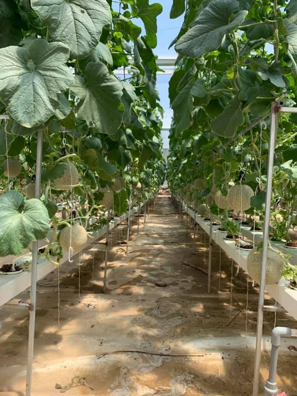 Mô hình trồng dưa lưới an toàn sinh học cho thu nhập cao.
