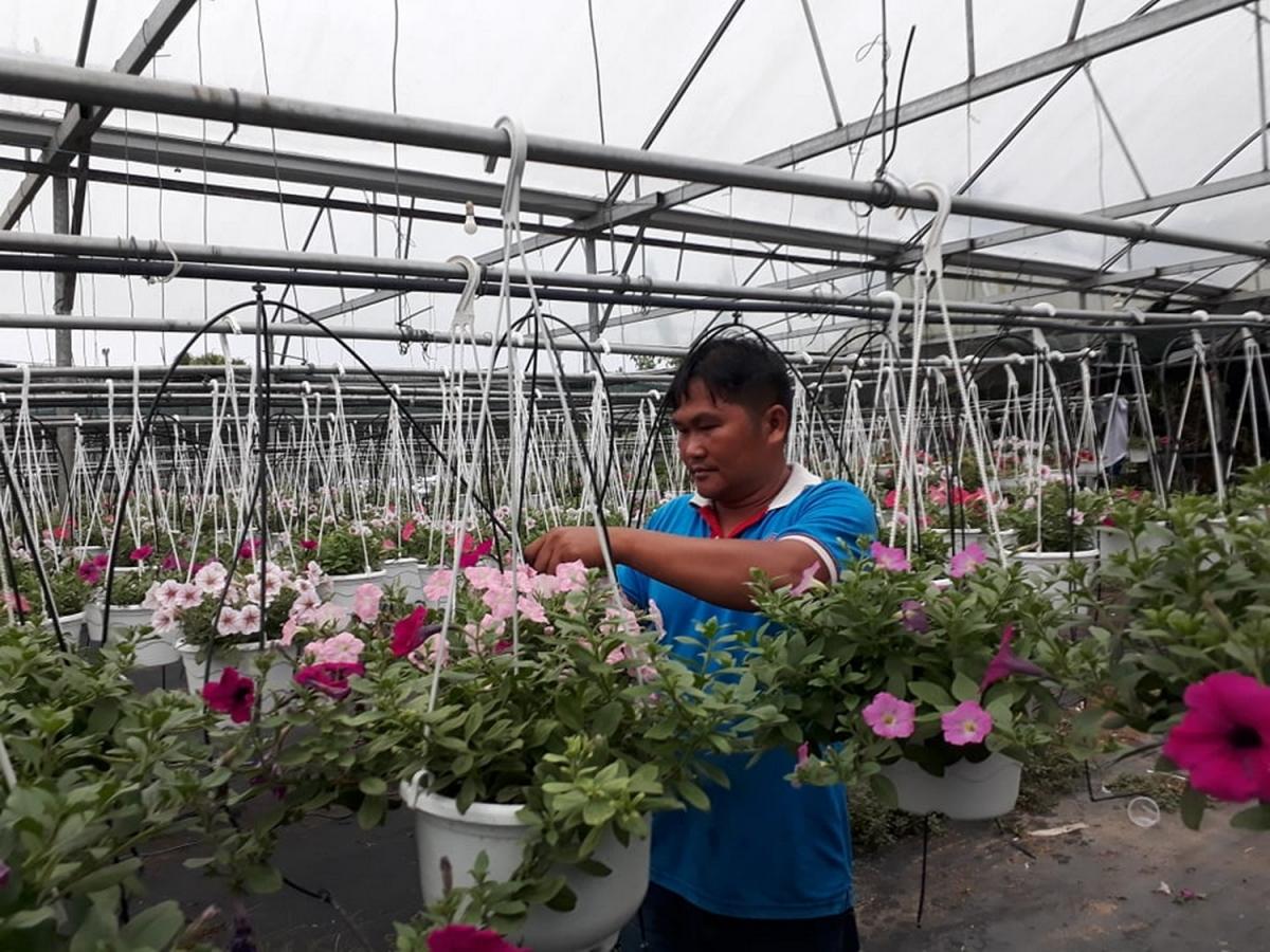 Ông Lê Ninh, Chủ cơ sở sản xuất hoa Trang Trí ở xã Hòa Ninh chăm sóc hoa.