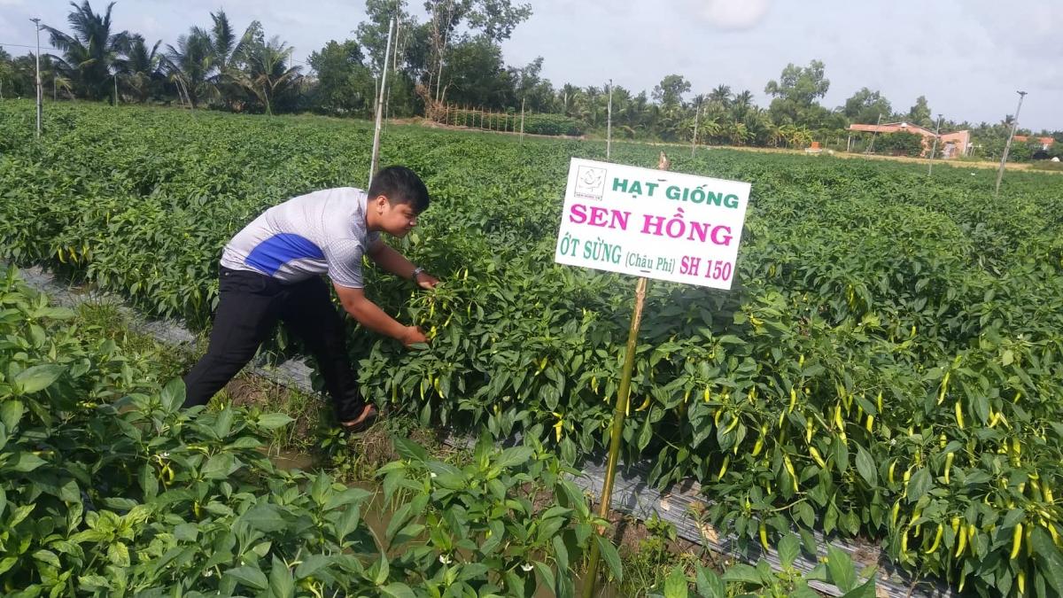 Nông dân vùng Đồng Tháp Mười thuộc huyện Tân Phước tỉnh Tiền Giang chuyển sang trồng rau màu dưới chân ruộng.
