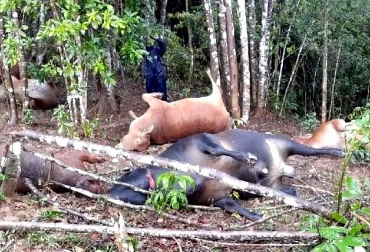 Đàn bò bị sét đánh chết.