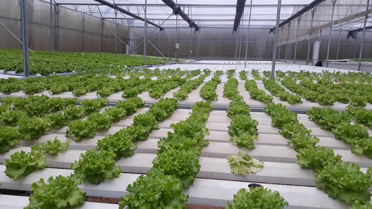 Hợp tác xã rau, hoa, củ quả Hòa Vang tạo việc làm cho hàng chục lao động tại địa phương.