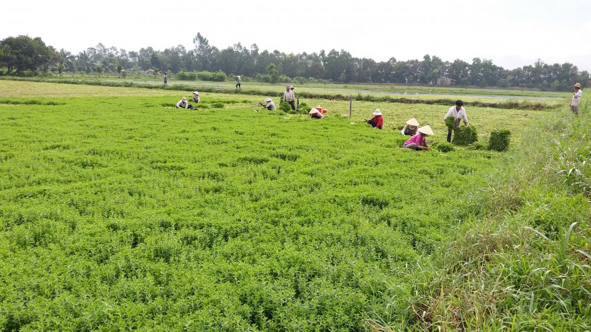 Nông dân huyện Châu Thành, tỉnh Tiền Giang thu hoạch rau màu.