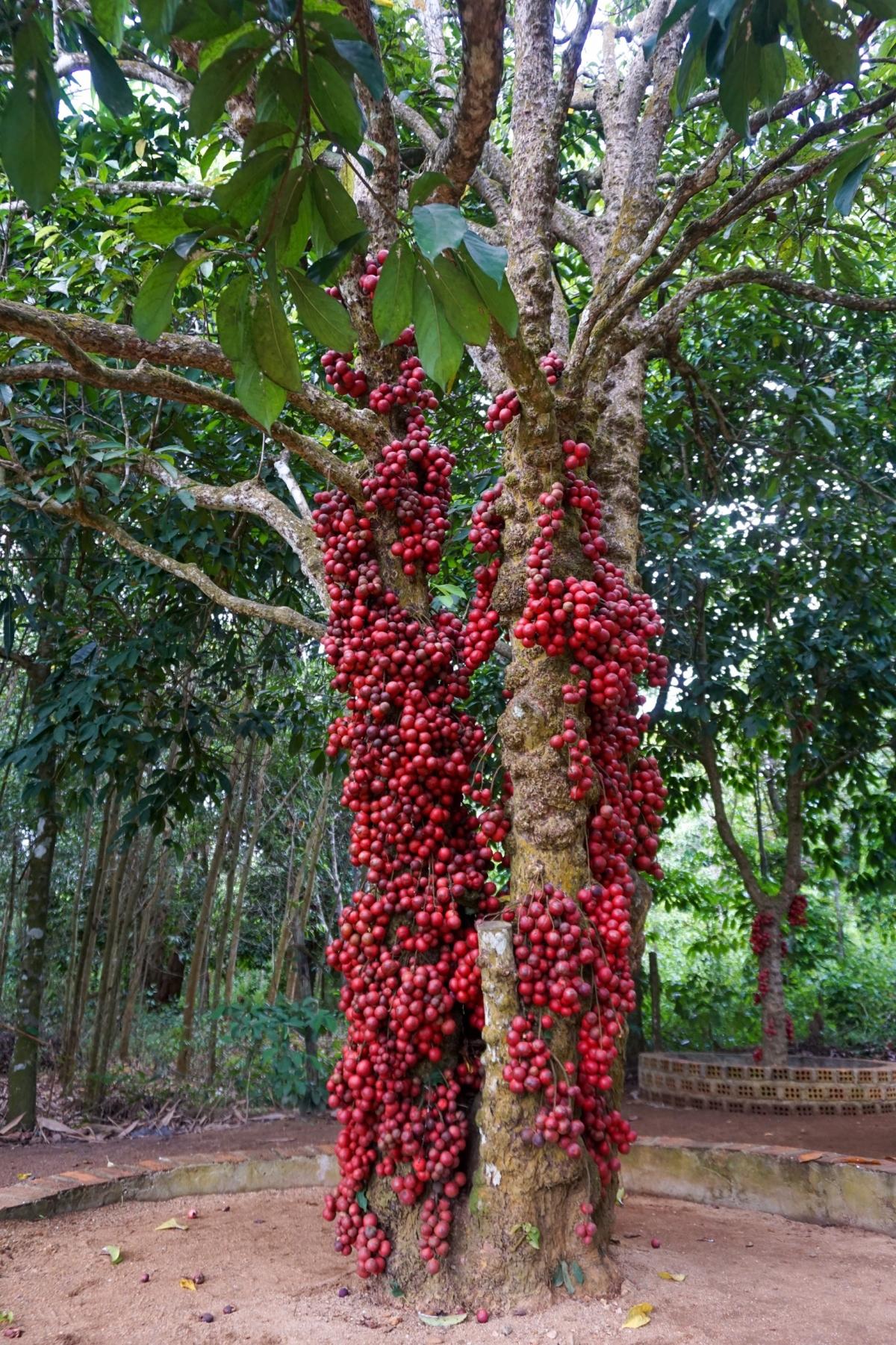 """Vườn cây đỏ - điểm """"check-in"""" độc đáo ở Vân Hòa. Ảnh: Sở VHTT&DL Phú Yên"""