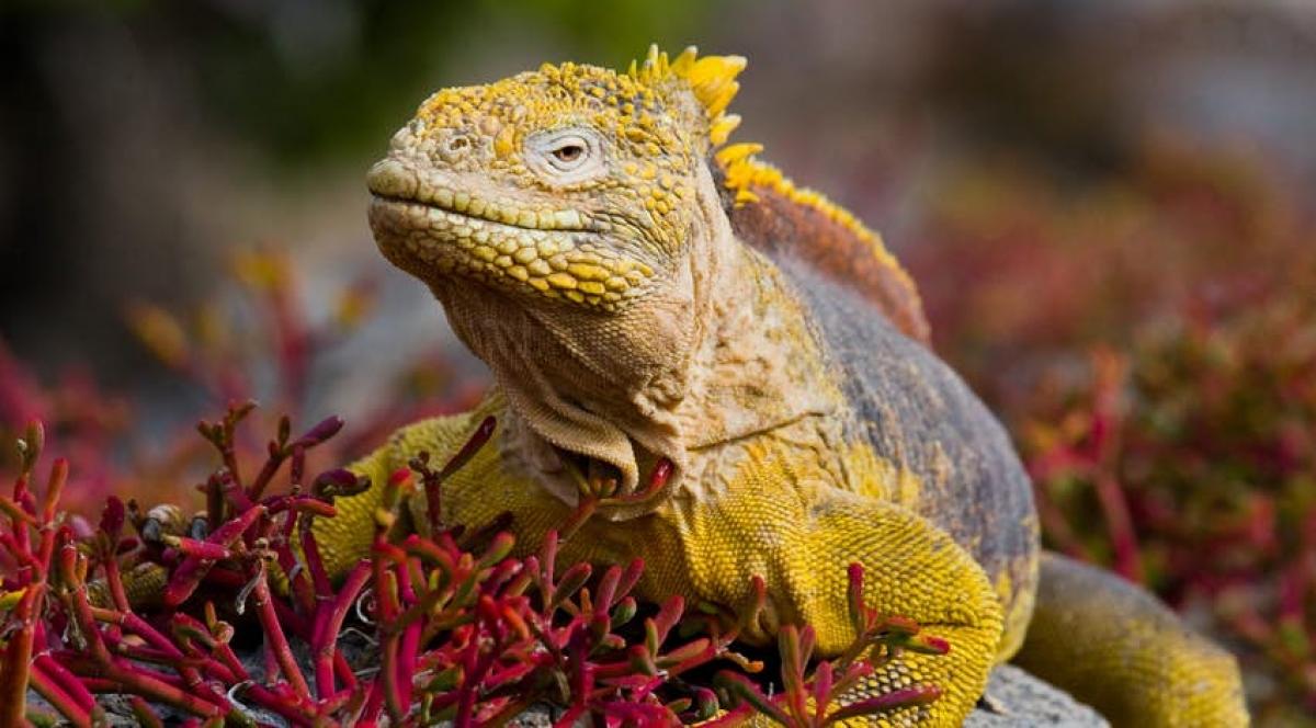 Loài cự đà Galápagos