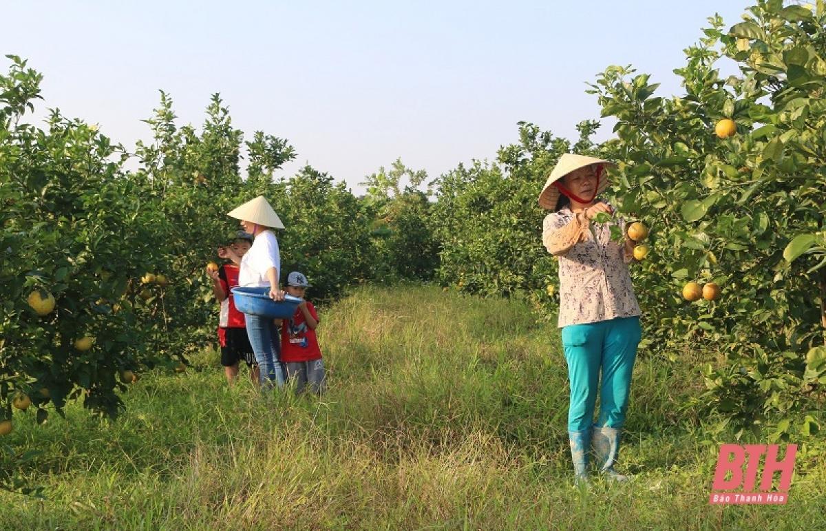 Nếu trước đây, trồng lúa là nghề chính của người dân xã Đông Minh,huyện Đông Sơn (Thanh Hóa), những năm gần đây nhiều gia đình đã chuyển sang cây cam giúp mang lại hiệu quả kinh tế cao, nhiều hộ dân thoát nghèo.