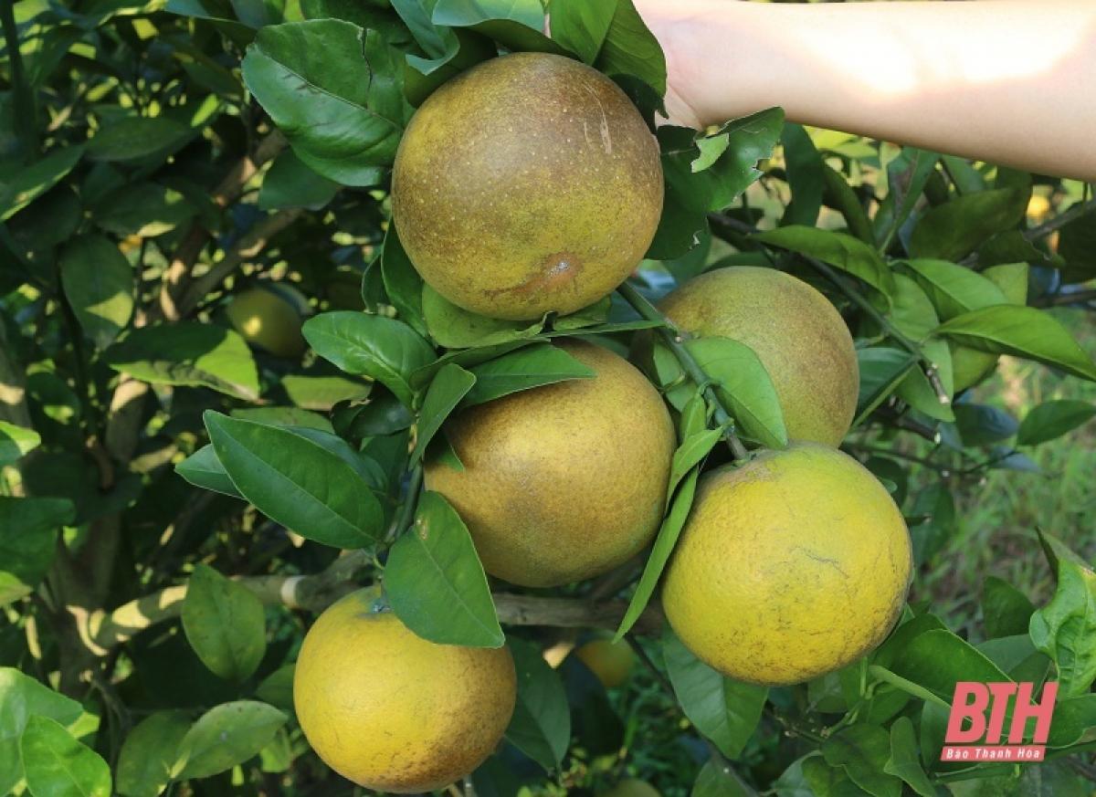 Hiện tại mỗi kg cam xuất bán tại vườn giá dao động từ 15.000 - 25.000 đồng, tùy từng loại.