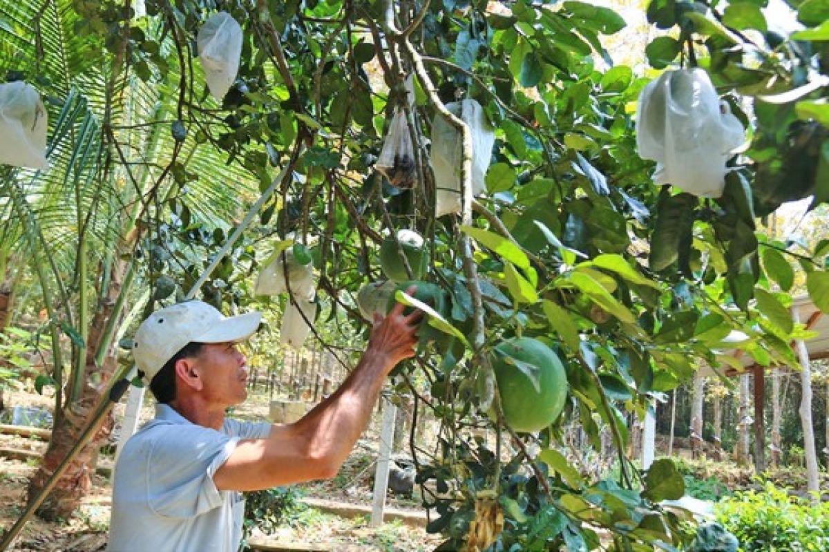 Nông dân Quảng Nam thoát nghèo nhờ bưởi da xanh.