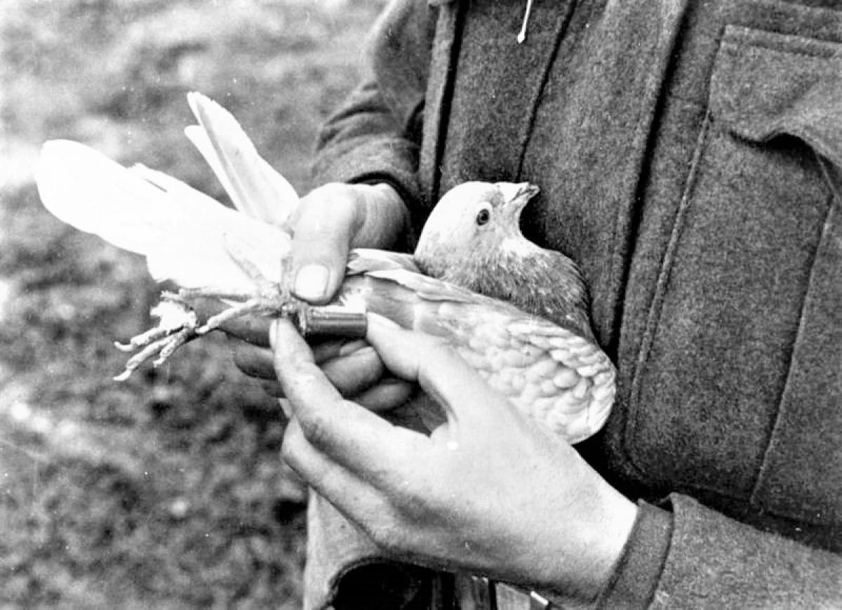 Tin được mã hóa dưới định dạng thu nhỏ đặt trong ống kim loại hoặc buộc vào lông đuôi bồ câu; Nguồn: topwar.ru