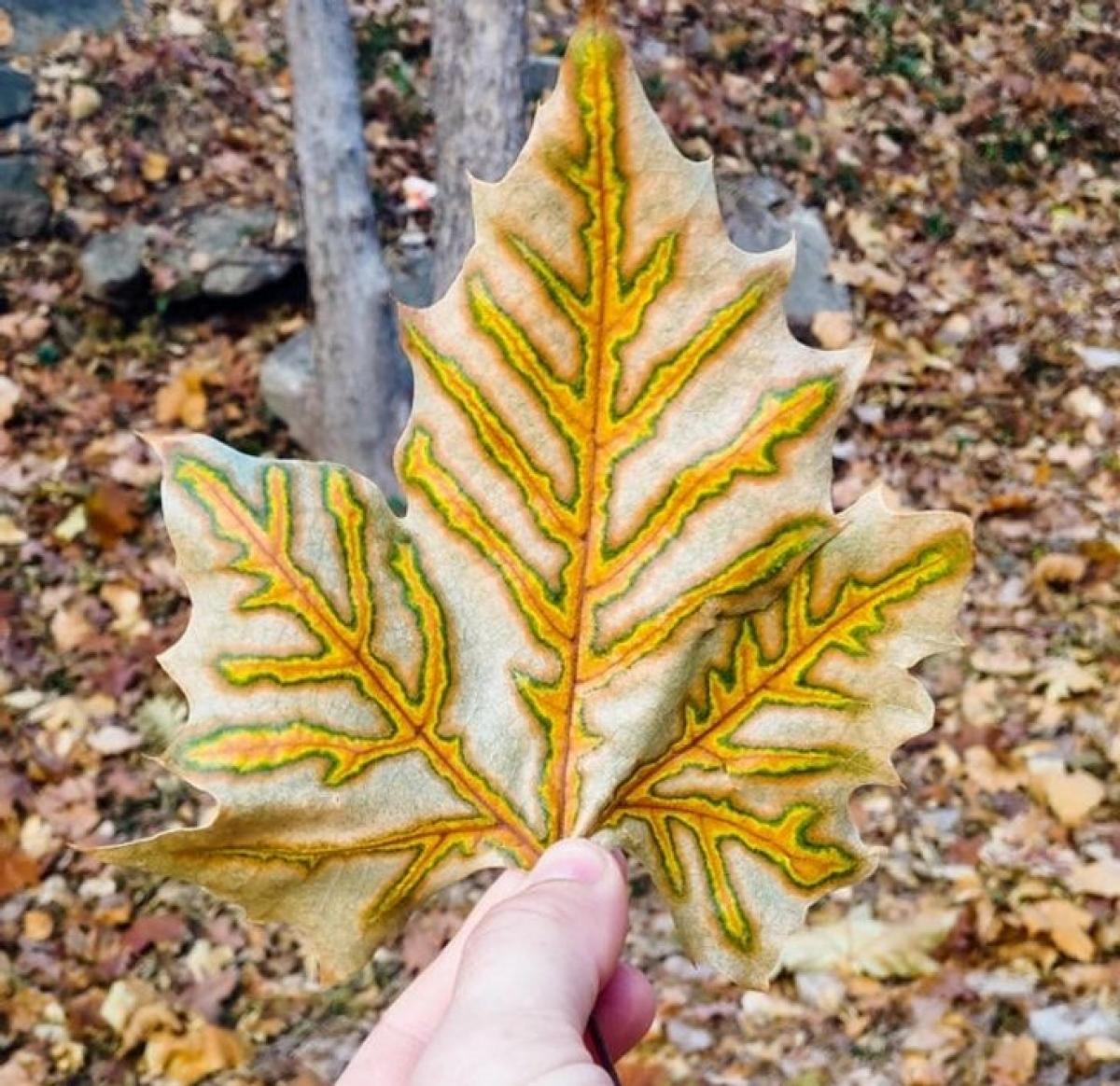 Màu sắc kỳ lạ của chiếc lá.