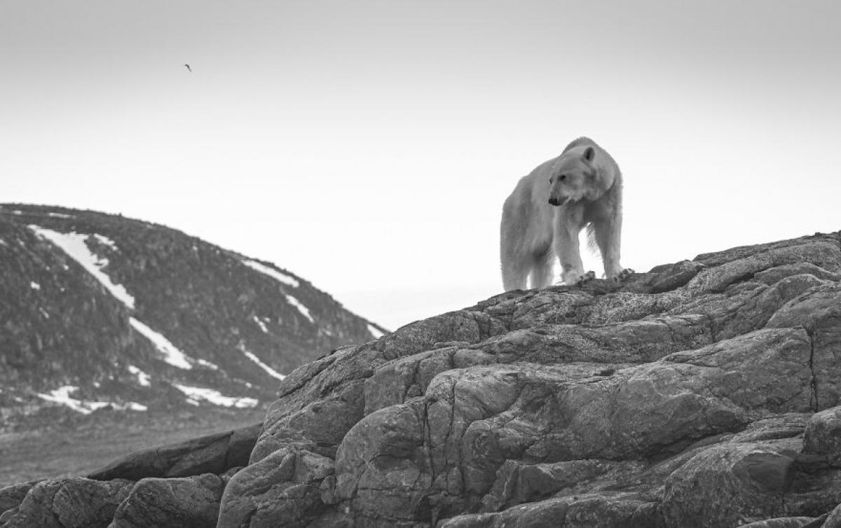 """Một chú gấu Bắc Cực đói đang nhìn ra biển và chờ đợi những tảng băng quay trở lại. """"Mùa hè ấm áp khiến những tảng băng trôi xa về phía bắc. Nhiều chú gấu Bắc Cực, bao gồm cả chú gấu này bị mắc kẹt trên bờ""""."""