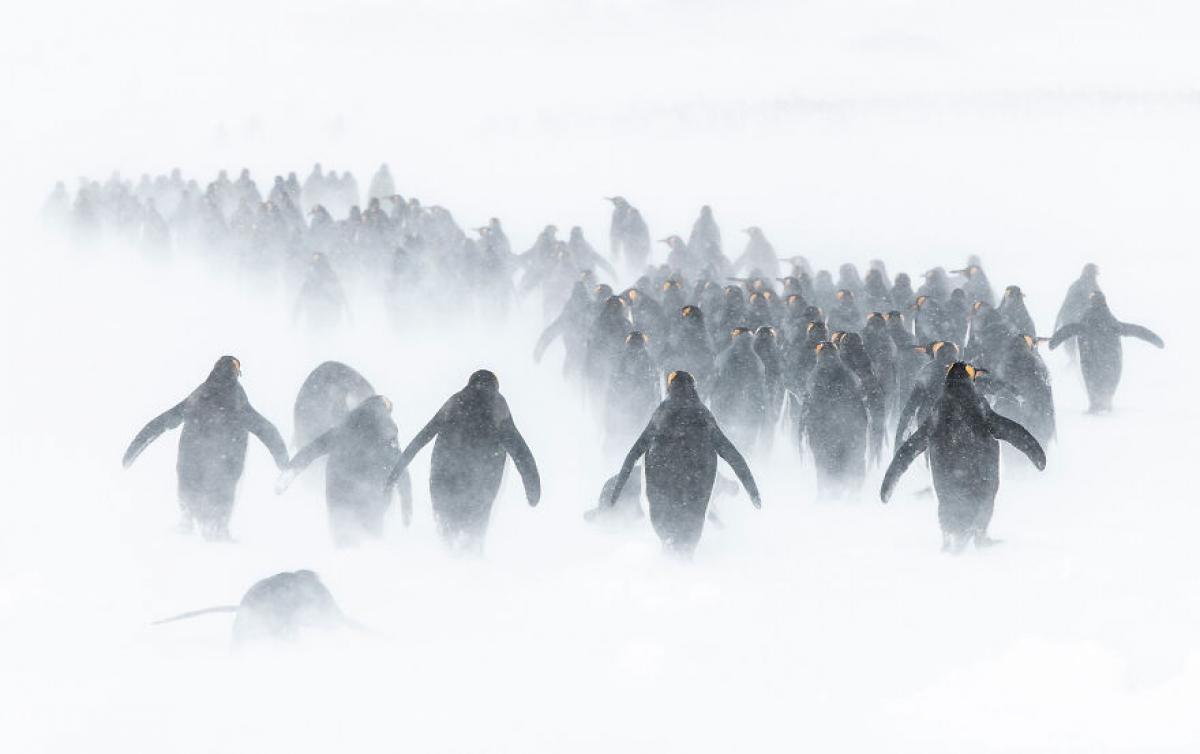 Những chú chim cánh cụt cùng nhau đi qua bão tuyết ở Vịnh St Andrew, Nam Georgia, Nam Cực. Nhiếp ảnh gia Ben Cranke đã dành 50 tiếng trong 5 ngày tại một vị trí để chụp được bức ảnh trên./.