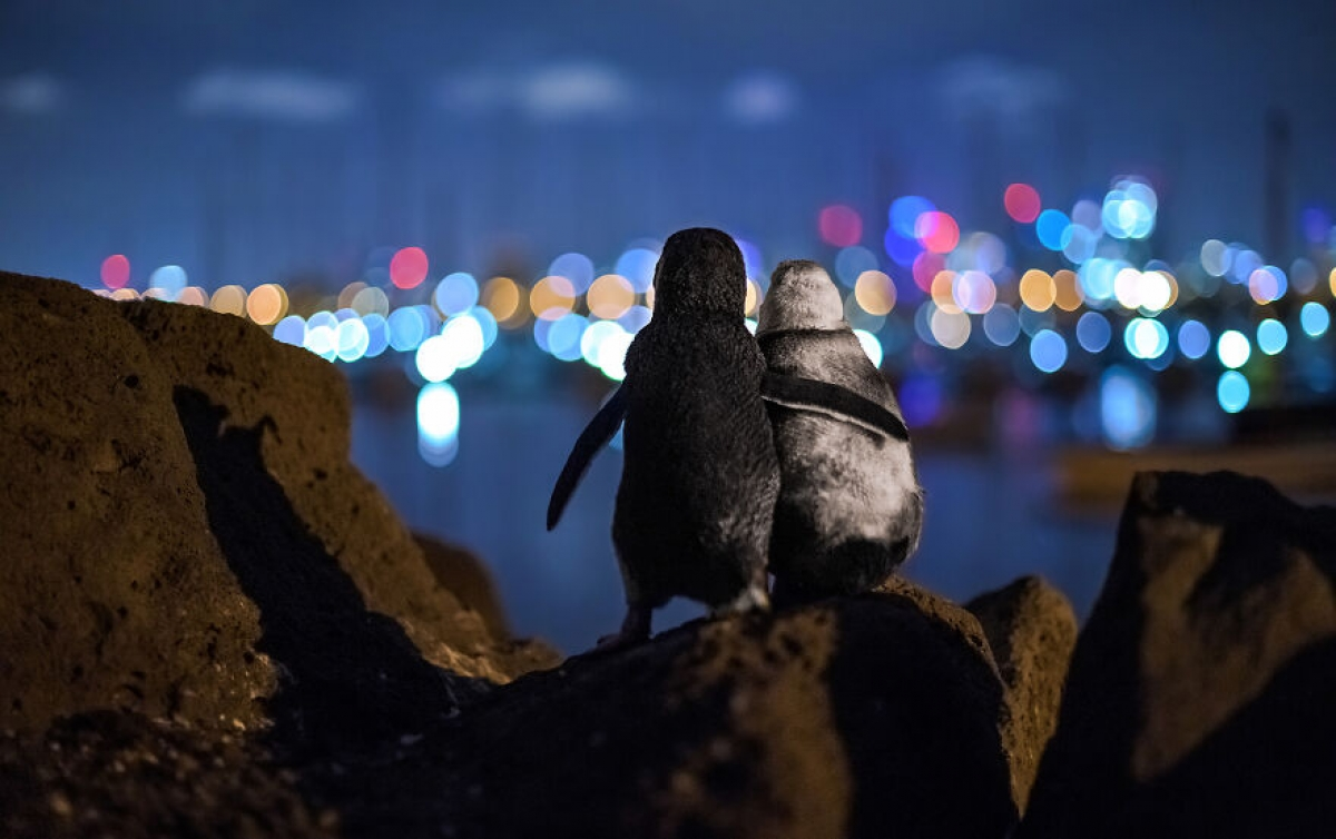 Nhiếp ảnh gia Tobias Baumgaertner đã tình cờ ghi lại khoảnh khắc ngọt ngào đáng yêu của 2 chú chim cánh cụt đang nhìn về phía những ánh đèn rực rỡ ở Melbourne, Australia.
