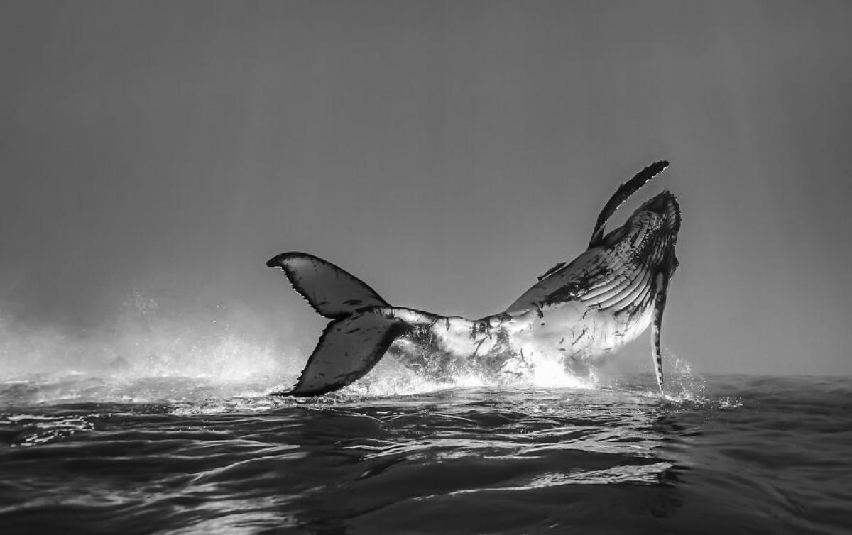 Điệu nhảy ấn tượng của một chú cá voi con lưng gù ở Tonga được tái hiện đầy sống động qua bức ảnh của nhiếp ảnh gia Jono Allen.