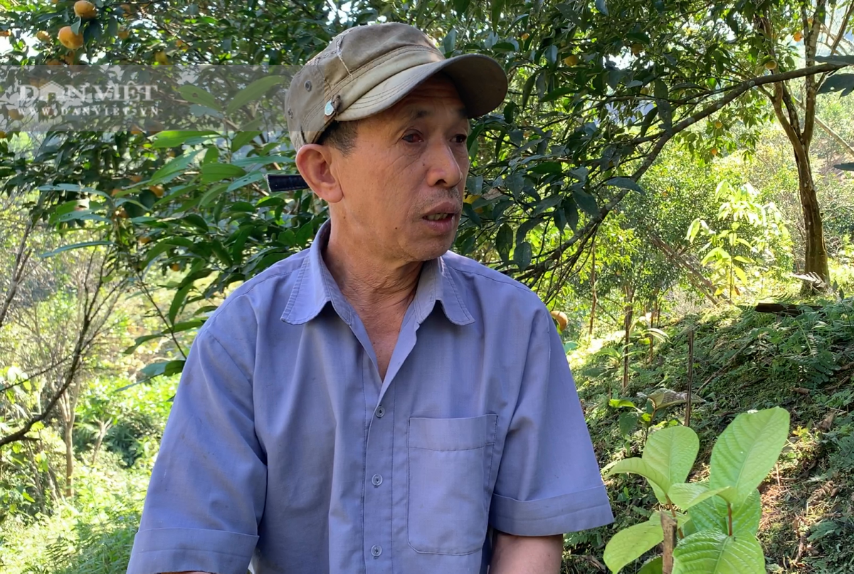 Ông Nguyễn Văn Thế dự tính sẽ trồng thay thế toàn bộ cây quýt đang thoái hóa bằng cây trà hoa vàng.