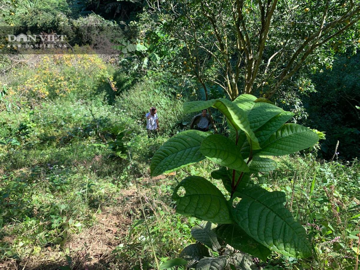 Ông Tý trồng những cây trà hoa vàng dưới tán cây quýt.