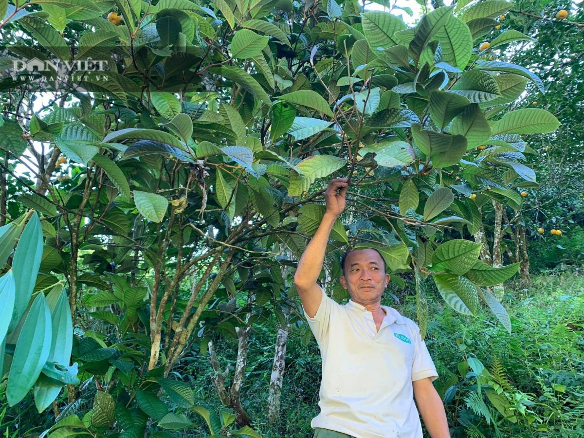 Ngoài cây trồng theo dự án, vườn nhà ông Trần Văn Tý cũng sẵn cây trà hoa vàng tự nhiên, có tuổi đời từ 7-10 năm và đã cho thu hoạch.