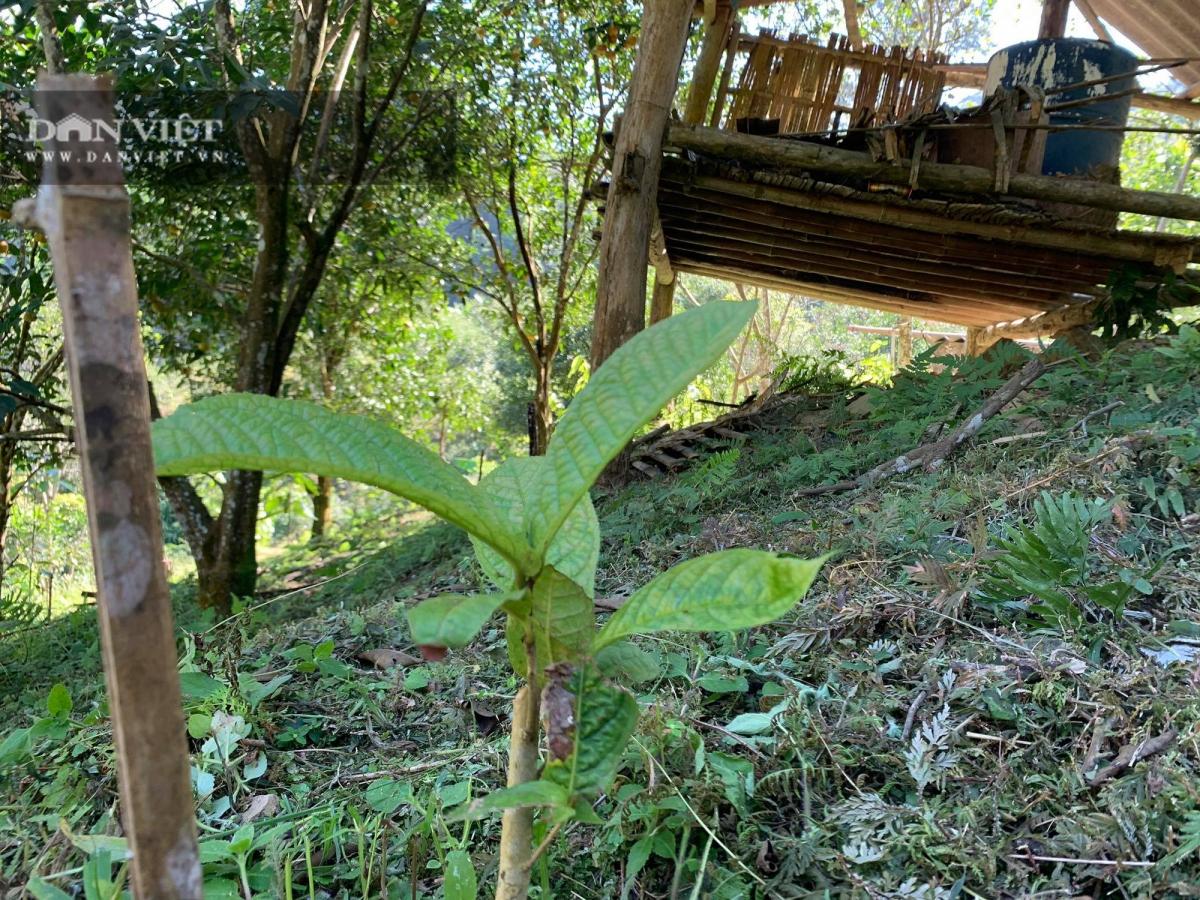 Tuy mới trồng được mấy tháng nhưng cây trà hoa vàng tại đây đã phát triển rất tốt.