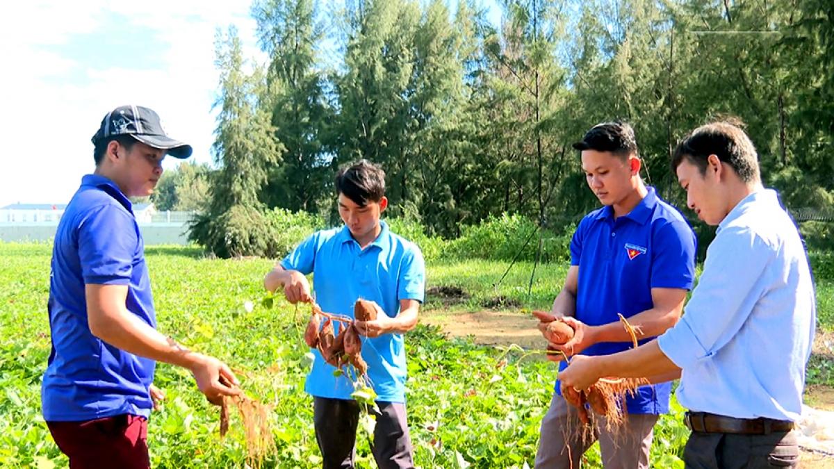 Đoàn viên thanh niên xã Trường Long Hòa, TX Duyên Hải trao đổi kinh nghiệm trồng khoai lang.