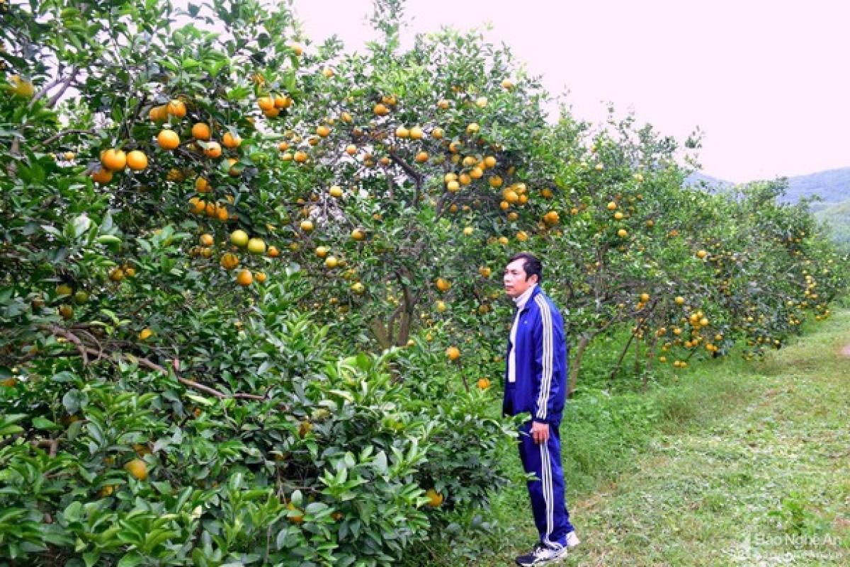 Anh Trịnh Xuân Giáo bên trang trại cam của mình ở Đồng Thành - Yên Thành. (Ảnh: Xuân Hoàng)