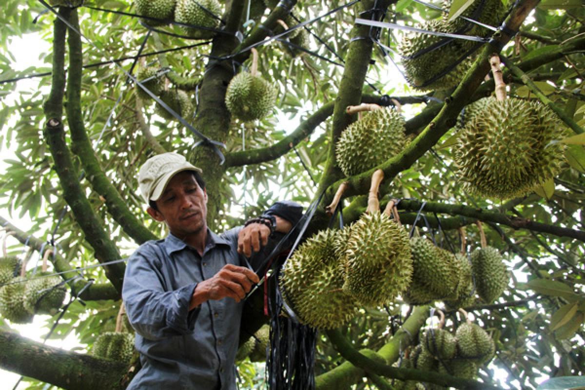 Tỉnh Lâm Đồng hiện có hơn 11.000 ha sầu riêng, trong đó tập trung nhiều ở các huyện Đạ Huoai, Di Linh, Bảo Lâm... (Ảnh minh họa: KT).