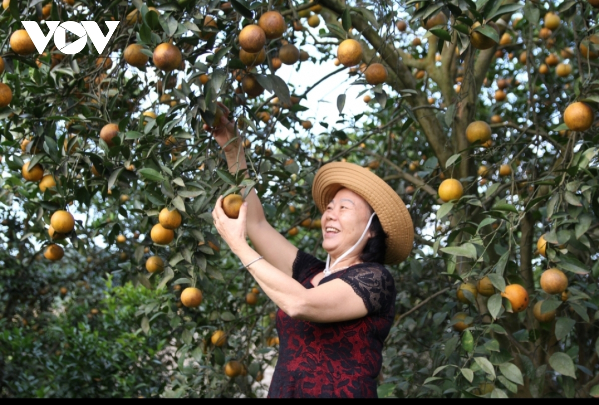 Visiting Cao Phong orange orchard in Hoa Binh province