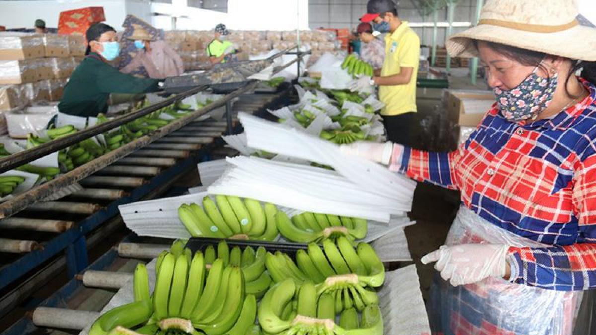 Một cơ sở sơ chế chuối sạch tại Lào. (Ảnh: KT)