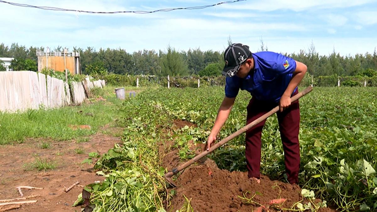 Rẫy khoai đất mượn của anh Võ Quang Tuấn đến ngày thu hoạch.