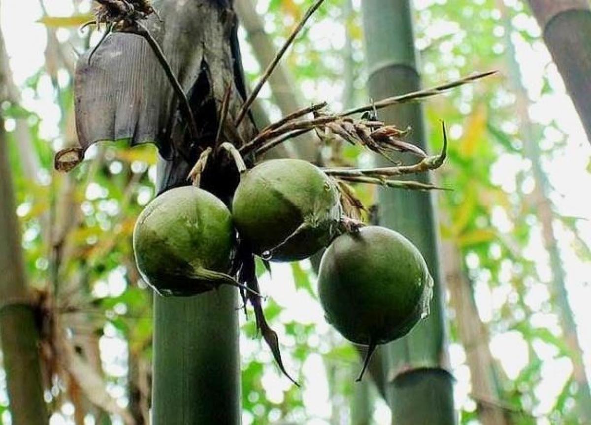Quả có vỏ màu xanh quen thuộc của cây tre, hình tròn với phần chóp nhọn giống như quả đào.