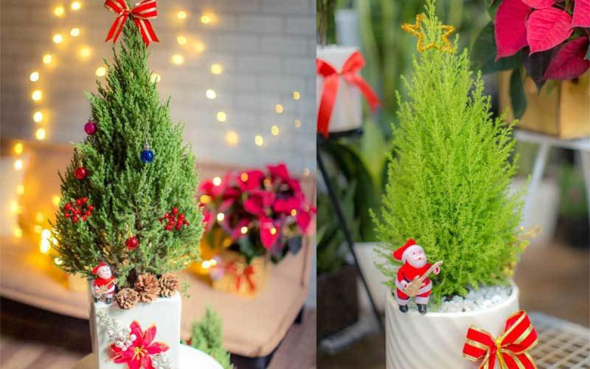Bên cạnh tùng thơm, cây tùng tuyết cũng được nhiều người tiêu dùng tìm mua trong dịp Giáng sinh năm nay. Loại cây này có giá bán khoảng 550.00 - 600.000 đồng, bao gồm cây, đồ trang trí và đèn led. (Ảnh: Afamily)./.