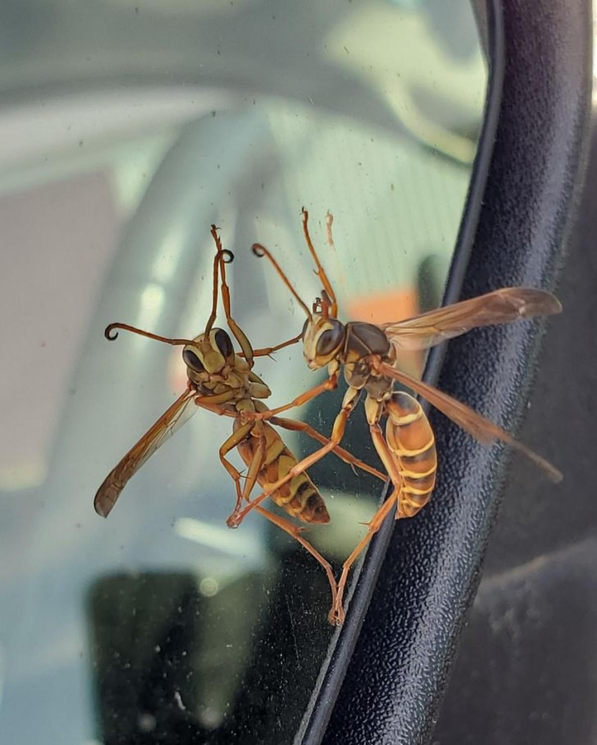 Hai chú chuồn chuồn như đang khiêu vũ trên kính lái ô tô.