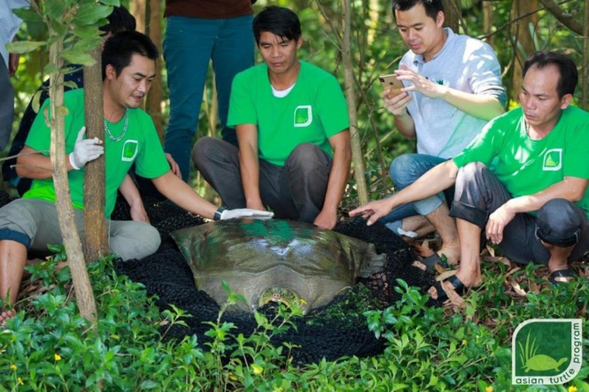 Cá thể rùa Hoàn Kiếm ở hồ Đồng Mô đã được bẫy bắt thành công và xác định giới tính. Ảnh: ATP