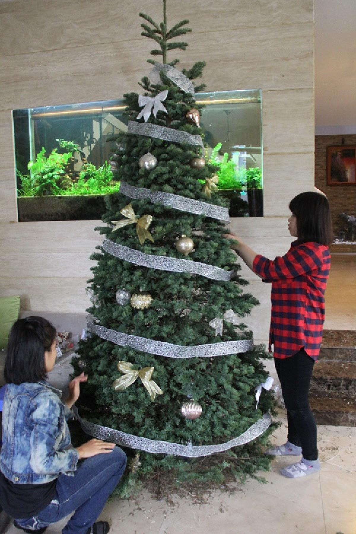 Cây thông tươi nhập khẩu dù giá cao và phải đặt trước khá lâu nhưng vẫn được nhiều người tiêu dùng lựa chọn trong dịp Noel vì muốn được tận hưởng không khí Noel chân thật, gần gũi nhất. (Ảnh: Afamily)